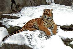 Pontos essenciais sobre os tigres:  1-Os tigres são grandes felinos, parentes dos leões, dos leopardos, dos jaguares e também dos nossos gatos;   2-Os tigres-siberianos e os tigres-de-bengala são os maiores tigres e os maiores felinos do mundo;   3-Os tigres vivem na Ásia e não em África;  4-Cada ninhada de tigrinhos tem cerca de dois ou três bebés, até um máximo de sete;  5-A mãe tigresa toma conta dos filhotes durante cerca de 2 anos;