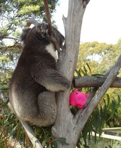 This is Morey 'hanging' with a koala who lives at the Bonorong Wildlife Sanctuary