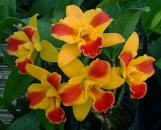 Odom's Orchids, Inc. - Pot. Burana Beauty 'Burana' HCC/AOS., $25.00 (http://www.odoms.com/products/pot-burana-beauty-burana-hcc-aos.html)