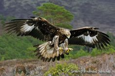Photo Aguila real by Javier Fernández Sánchez on 500px