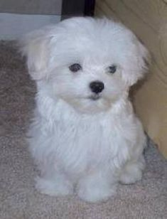 maltese... Reminds me of my Holly Belle when she was a puppy! 