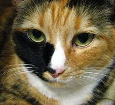A beautiful, gentle girl, Emily can be a bit timid until she gets to know you. Once she does, though, expect to have a lot of conversations! While she isn't really a lap cat, she loves to sit next to a warm human on the sofa. She'll make a wonderful companion for a family of adults and older kids. Why not stop by the shelter and say hello to this charming little lady?