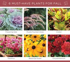 6 Must-Have Plants for Fall Flowering Kale, Fountain Grass, Changing Leaves, Fall Plants, Black Eyed Susan, Back Patio, Fall Flowers, Chrysanthemum, Porch Decorating