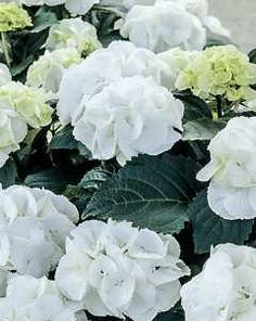 Forever & Ever® White Out Hydrangea - TB141