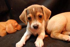 Baby Trixie the Cheagle....Chihuahua and Beagle mix. I want one!