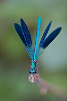 Damselfly (Calopteryx) - ©Gorfou97 - www.flickr.com/photos/amstaaf97/7726560376/