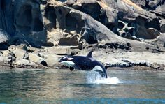 July 31, 2014:  Great day with Group A of J Pod! Ocean EcoVentures Whale Watching - Cowichan Bay