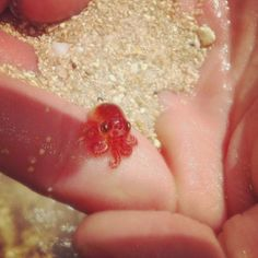 Another baby octopus. It's so teeny tiny and just generally ADORABLE!