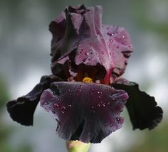 """Black As Night Iris: Gothic Valentine. Pinner says: """"I have these in my garden and they are gorgeous!"""""""