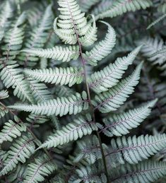 Buy Athyrium niponicum f. metallicum from Sarah Raven: There are few things more elegant than this frosted fern with soft grey leaves. Balcony Plants, Garden Plants, Planting Bulbs, Planting Flowers, Organic Mulch, Plant Delivery, Garden Compost, Summer Plants, Home Flowers