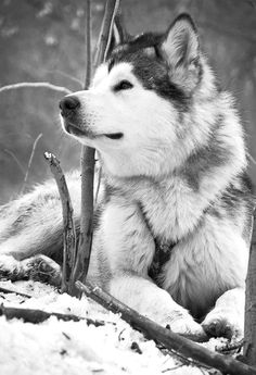 huskies are amazing and beautiful. They are sooo pretty! :)