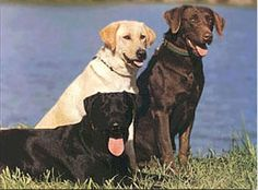 Chocolate, Yellow and Black Labs