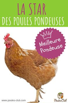 Coq, Hens, Voici, Animals And Pets, Rooster, Birds, Chicken, Cupcakes, Nature
