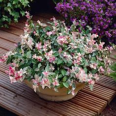Get gorgeous groundcover for gardens and beyond with our Snow-N-Summer Asiatic Jasmine Plants - second to none in easy care and good looks. Patio Fruit Trees, Patio Plants, Indoor Plants, Garden Plants, Evergreen Shrubs, Flowering Shrubs, Jasmine Plant For Sale, Asian Jasmine, Avocado Tree