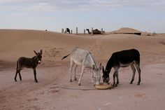 Uzbekistan-Turkmenistan. Donkeys In Village.     Courtesy: FO Travel, Paris (France).
