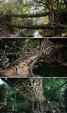 Long ago, the War-Khasis people of Meghalaya in northeastern India began forming the roots of the rubber tree into bridges that would give them passage over the river. The root bridges are extraordinarily strong and because they are alive and still growing, the bridges actually gain strength over time—and some of the ancient root bridges used daily by the people of the villages around Cherrapunji may be well over 500 years old. #India