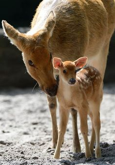 Mother Deer and Her Beautiful Fawn.
