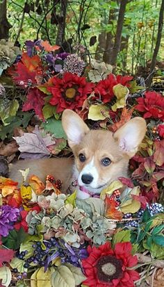 Pembroke Welsh Corgi - Alert and Affectionate Puppies And Kitties, Cute Puppies, Cute Dogs, Pembroke Welsh Corgi Puppies, Corgi Dog, Corgi Names, Corgi Pictures, Corgi Funny, Dogs