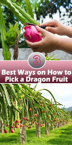 Obviously, the fruit itself can tell you if it's ripe and ready to harvest. As promised and indicated on the headline, we'll unlock How to Pick a Dragon Fruit. Keep these three ways concerning when and how to harvest the fruit.