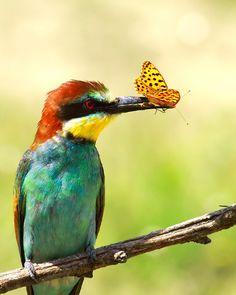 Abejaruco (Merops Apiaster) de Doina Russu