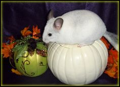 Cinnamon isn't the only one chinchilla who loves the holidays!