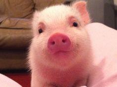 teacup pig | Tumblr