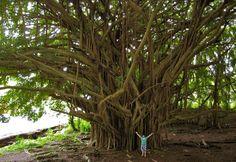 Hilo, Hawaii  Banyan Tree