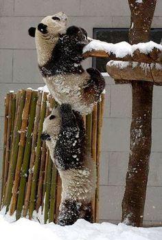 #Pandas climbing #Bamboo fence