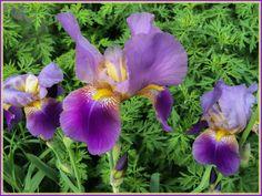 Purple Iris.  Photo: Kendall McKernon