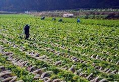 도산면 단무지 수확(2013년 11월)