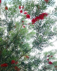 Callistemon, Bottlebrush tree