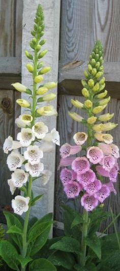 Foxgloves are great for adding height to the flower garden and creating a cottage garden look. Beautiful flowers but toxic plant - do not have this where children play.