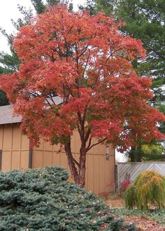 Acer griseum--Paperbark Maple (Fall Color)--White flowers in spring; shiny, red-brown, cherry-type bark, slightly peeling--Full sun; needs well-drained soil--Mature Height: 35' to 40'--Mature Form: Rounded--Zones 4 - 6--Fewer problems than most cherries, but can be attacked by borers, tent caterpillar and leaf spots.   This tree tends to have a short lifespan, about 30 years.