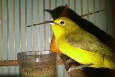 Suara Pleci Betina – Hampir setiap jenis burung berkicau, tentunya kebanyakan pernah mengalami masa-masa dimana ia tengah berada pada suatu kondisi yang kurang bagus. Sehinggatak jarang kalau dapat membuat ... Read moreDownload Suara Pleci Betina untuk Pancingan Parrot, Bird, Parrot Bird, Birds, Parrots