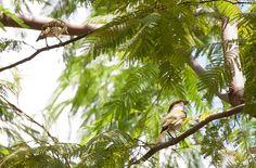 Foto pitiguari (Cyclarhis gujanensis) por Evaldo Nascimento | Wiki Aves - A Enciclopédia das Aves do Brasil