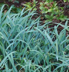 carex flaccosperma  - blue sedge (good for dry shade under norways)