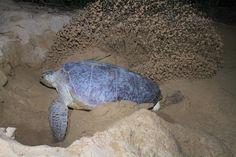 nesting season in the Riviera Maya is here!