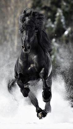 The Black Stallion – Arabian horse reared up Cute Horses, Pretty Horses, Horse Love, Most Beautiful Horses, Animals Beautiful, Cute Animals, Black Horses, Wild Horses, Horse Photos