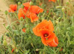 Guia de jardin: 25 gramíneas y flores silvestres para identificar