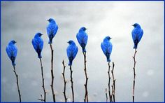 Mountain Bluebird, via ツ Amazing Facts & Nature ツ
