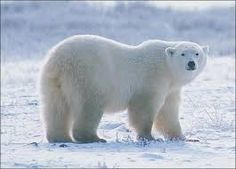 Image result for polar bear turning photos