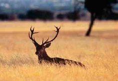 Ungulado. Es una especie grande, con alzada a la cruz superior a los 140 cm, con una capa de verano de color marrón rojizo, que en invierno ...