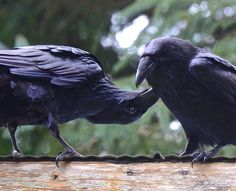 "'Your daily ravens."" ~~ Wendy Davis Photography, January 25, 2015"