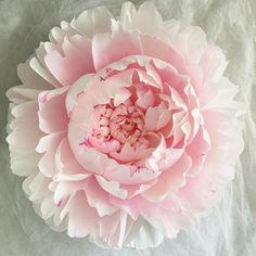 Встречайте, новый розовый , холодный, нежный розовый с растяжкой к белому, скоро выйдет новый мк по такому пиону, в которой мы покажем как затонировать лепестки в нужный цвет в домашних условиях  без краскопульта и аэрографа ).