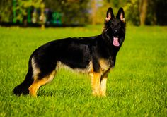 German Shepherd by YassyCat                              …