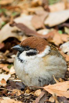 Tokyo Sparrows.