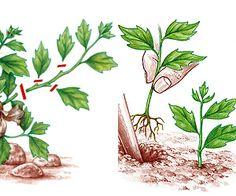 www.rustica.fr - Bouturage de vivace, plante et arbuste - Bouture de tête simple