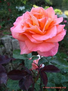 View picture of Hybrid Tea, Large-flowered Rose 'Ambassador' (Rosa) at Dave's Garden.  All pictures are contributed by our community.