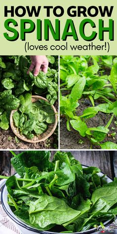 Spinach is a rewarding, easy to grow, vegetable that is great for gardeners of all levels. Learn how to grow spinach from seed in your vegetable garden this year. It's a cool weather crop so you don't even have to wait for warm spring weather! Growing Peas, Growing Spinach, Growing Lettuce, Gardening Hacks, Gardening For Beginners, Organic Gardening, Warm Spring, Spring Weather, Vegetable Garden Tips