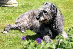 Irish Wolfhound #69 - Irish Wolfhound AKC Popularity - 2015: 69 AKC Popularity - 2014: 72 Average Life Expectancy: 8 years Puppy Price: $1,900 Breed Group: Hound Nickname(s): Cú Faoil